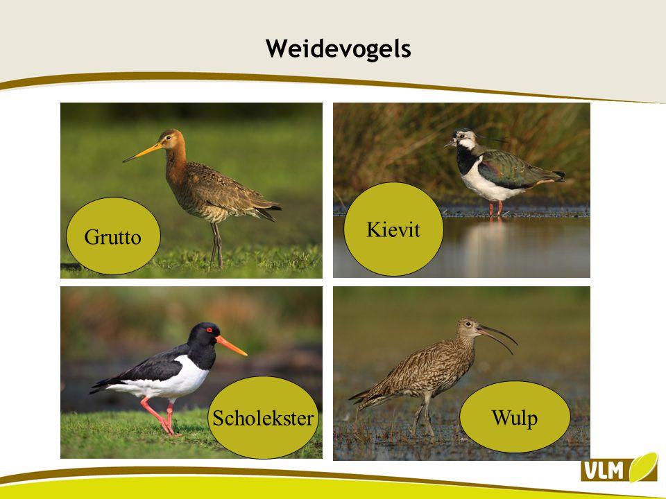 Weidevogels Kievit Grutto Scholekster Wulp