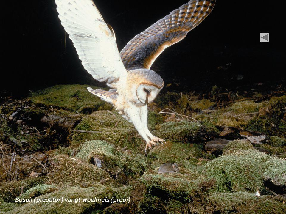 Bosuil (predator) vangt woelmuis (prooi)