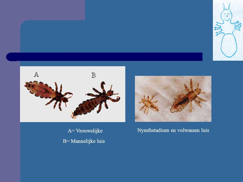 Nymfestadium en volwassen luis