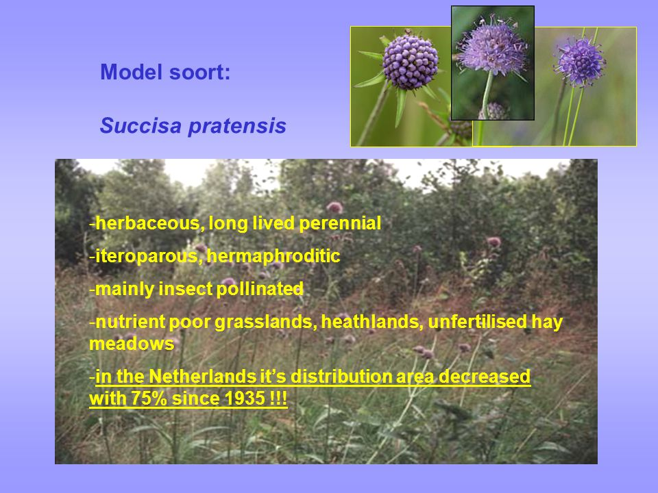 Model soort: Succisa pratensis herbaceous, long lived perennial
