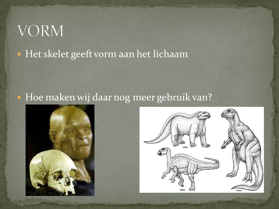 VORM Het skelet geeft vorm aan het lichaam