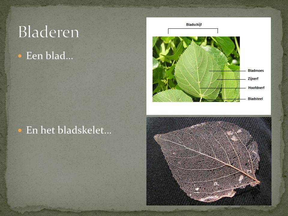 Bladeren Een blad… En het bladskelet…