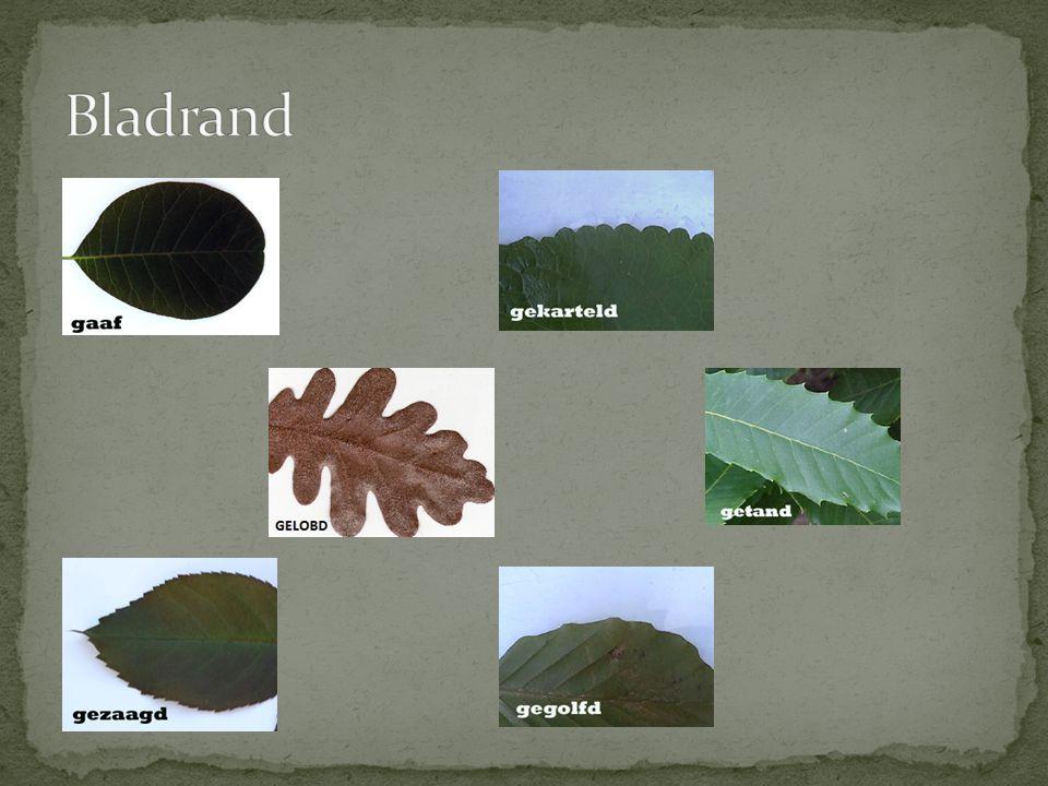 Bladrand