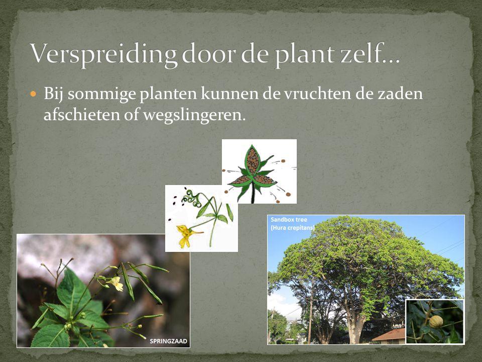 Verspreiding door de plant zelf…