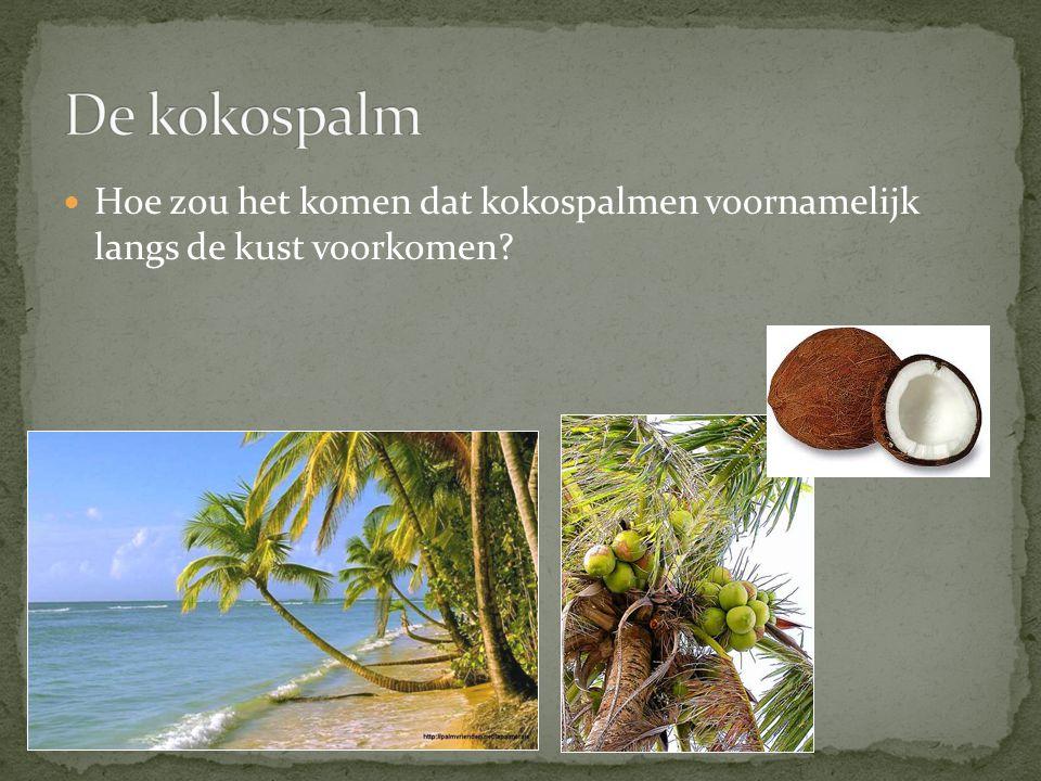 De kokospalm Hoe zou het komen dat kokospalmen voornamelijk langs de kust voorkomen
