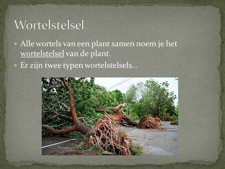 Wortelstelsel Alle wortels van een plant samen noem je het wortelstelsel van de plant.