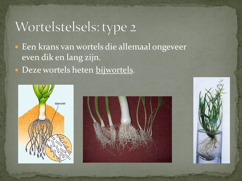 Wortelstelsels: type 2 Een krans van wortels die allemaal ongeveer even dik en lang zijn.