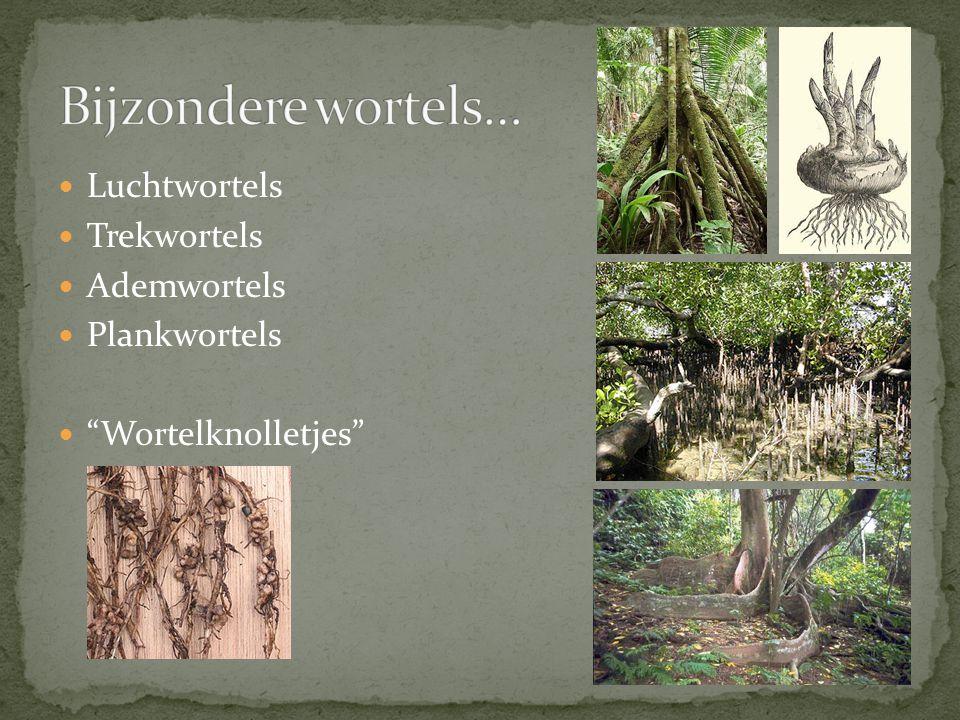 Bijzondere wortels… Luchtwortels Trekwortels Ademwortels Plankwortels