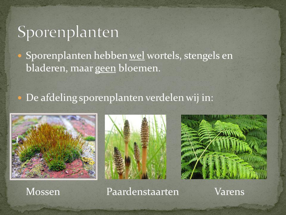 Sporenplanten Sporenplanten hebben wel wortels, stengels en bladeren, maar geen bloemen. De afdeling sporenplanten verdelen wij in: