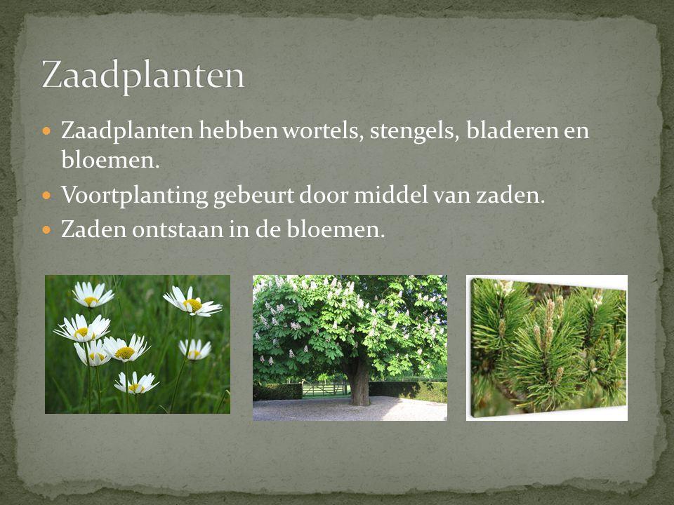 Zaadplanten Zaadplanten hebben wortels, stengels, bladeren en bloemen.