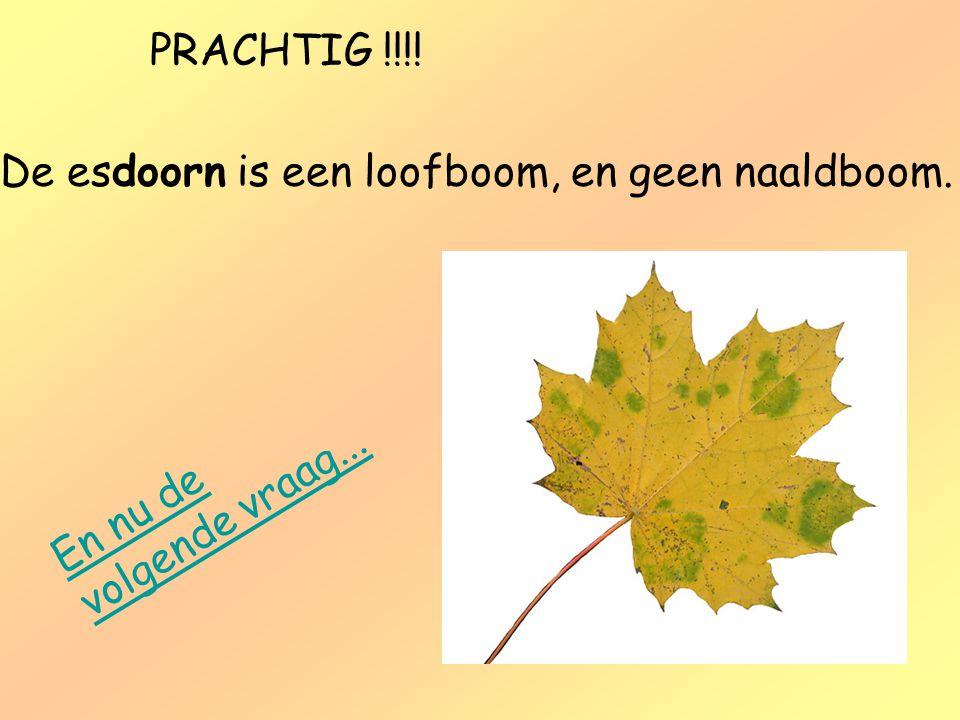 PRACHTIG !!!! De esdoorn is een loofboom, en geen naaldboom. En nu de volgende vraag...