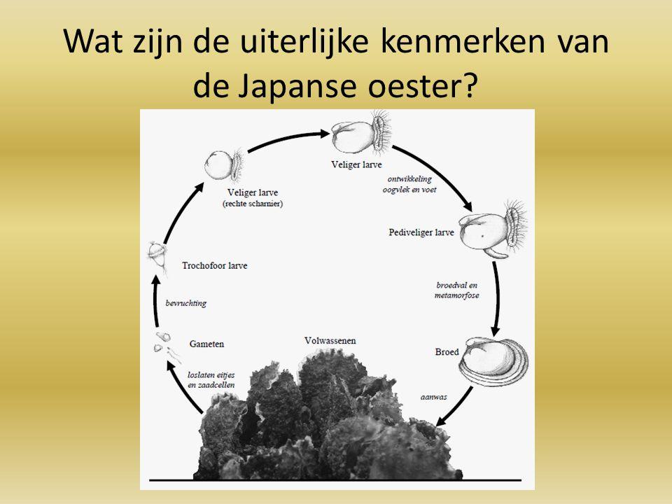 Wat zijn de uiterlijke kenmerken van de Japanse oester
