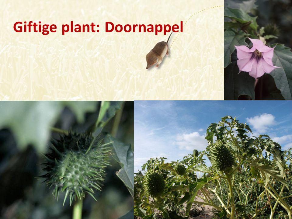 Giftige plant: Doornappel