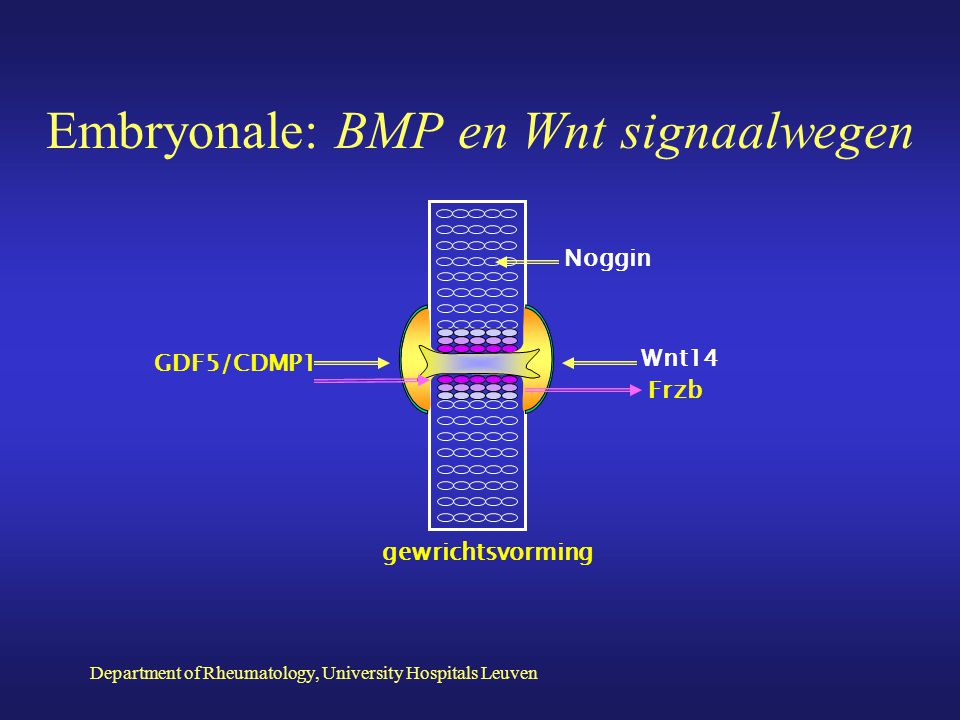 Embryonale: BMP en Wnt signaalwegen