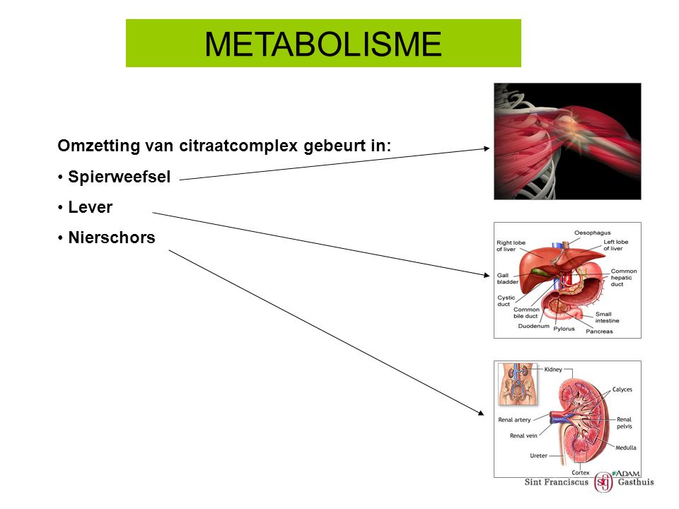 METABOLISME Omzetting van citraatcomplex gebeurt in: Spierweefsel