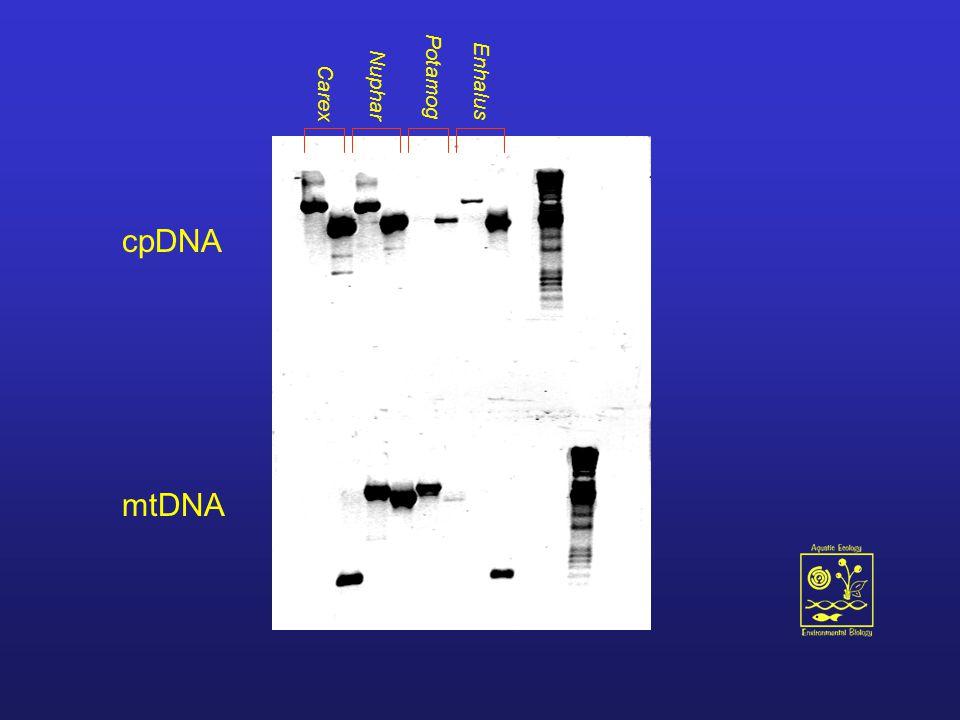 Nuphar Potamog Enhalus Carex cpDNA mtDNA
