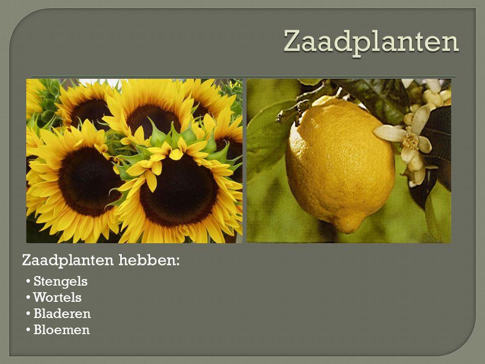 Zaadplanten Zaadplanten hebben: Stengels Wortels Bladeren Bloemen