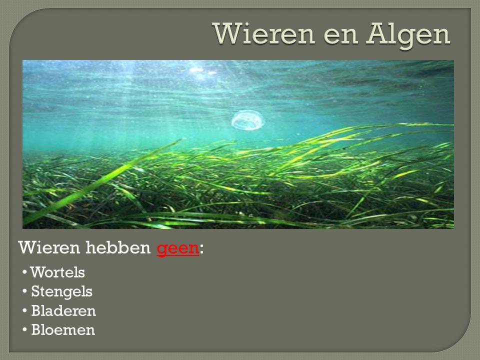 Wieren en Algen Wieren hebben geen: Wortels Stengels Bladeren Bloemen