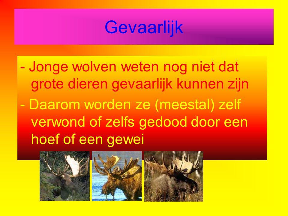 Gevaarlijk - Jonge wolven weten nog niet dat grote dieren gevaarlijk kunnen zijn.
