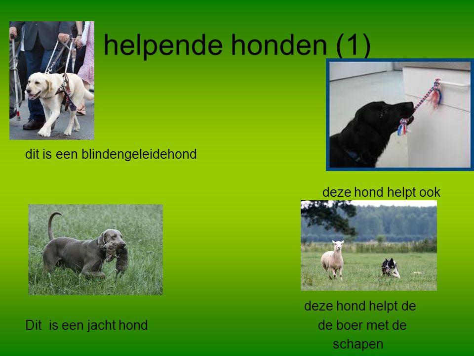 helpende honden (1) dit is een blindengeleidehond deze hond helpt ook