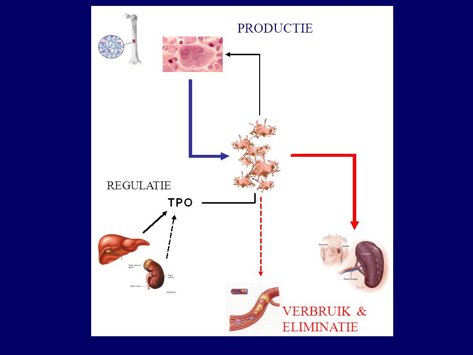 PRODUCTIE REGULATIE VERBRUIK & ELIMINATIE