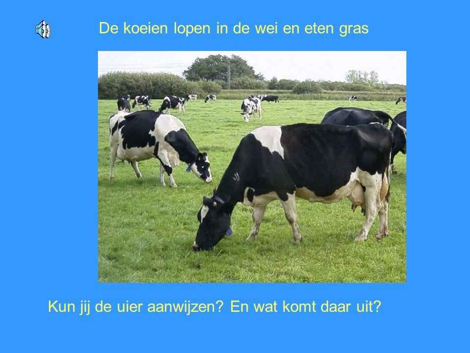 De koeien lopen in de wei en eten gras