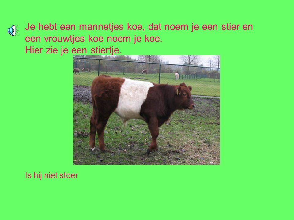 Je hebt een mannetjes koe, dat noem je een stier en een vrouwtjes koe noem je koe. Hier zie je een stiertje.