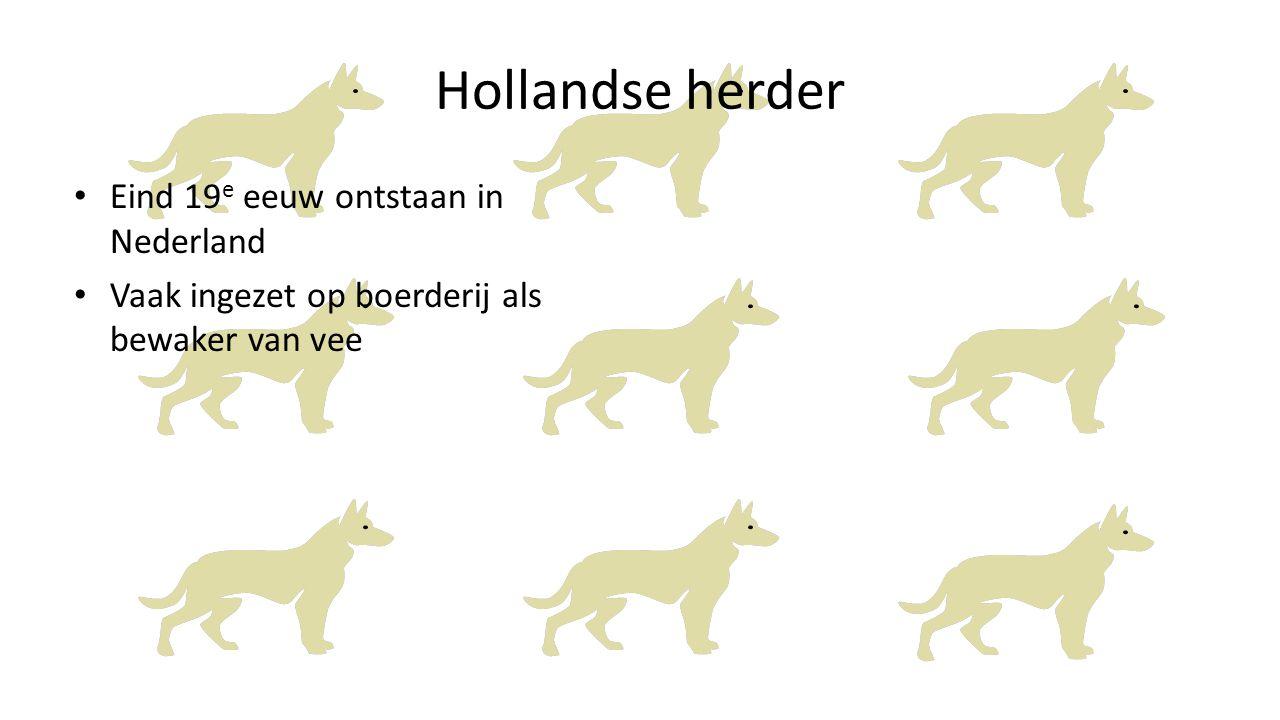 Hollandse herder Eind 19e eeuw ontstaan in Nederland