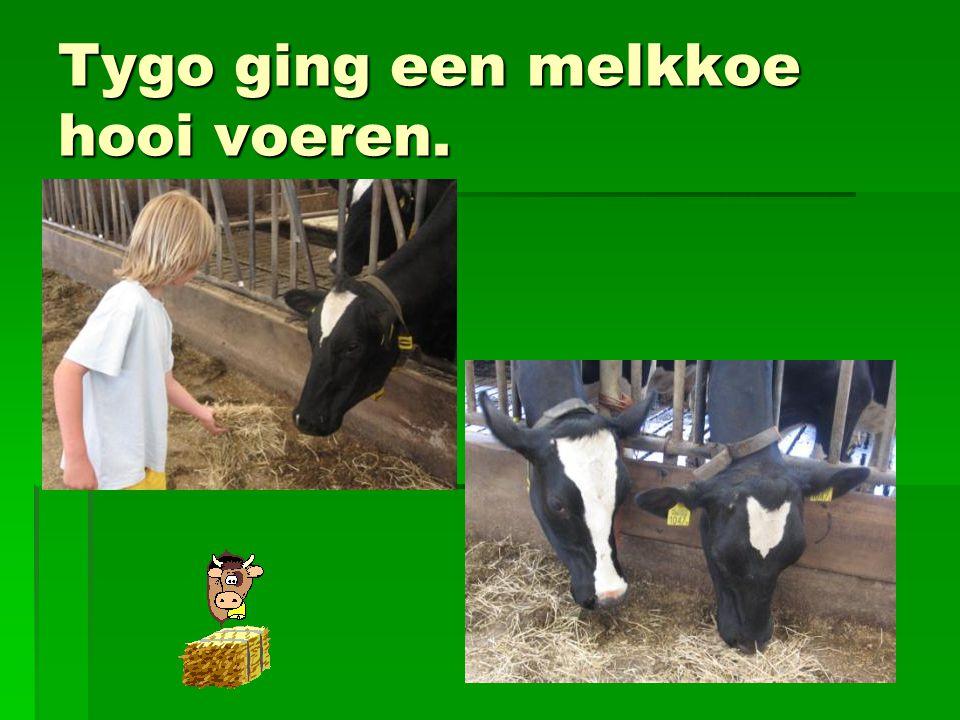 Tygo ging een melkkoe hooi voeren.