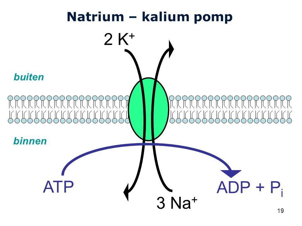 Natrium – kalium pomp 2 K+ 3 Na+ buiten binnen ATP ADP + Pi