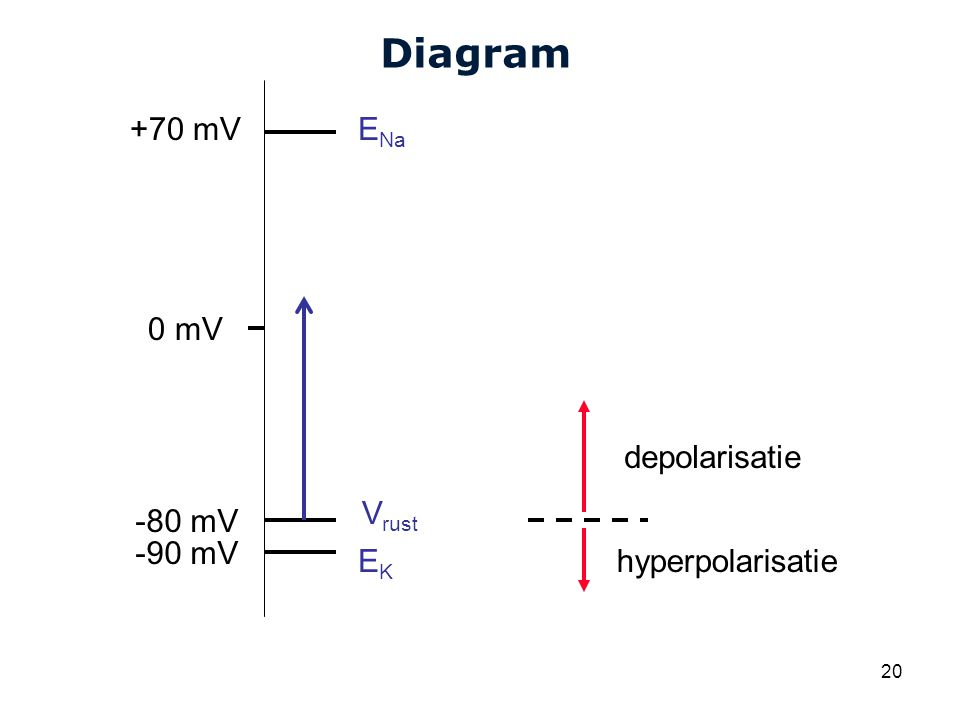 Diagram +70 mV ENa 0 mV depolarisatie Vrust -80 mV -90 mV EK