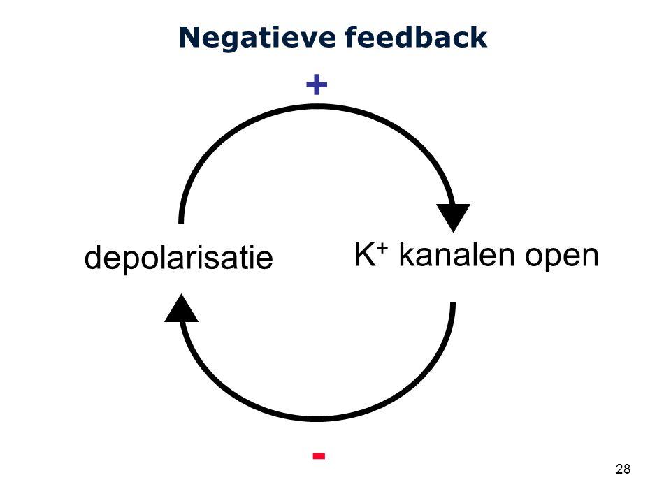 Negatieve feedback + depolarisatie K+ kanalen open -