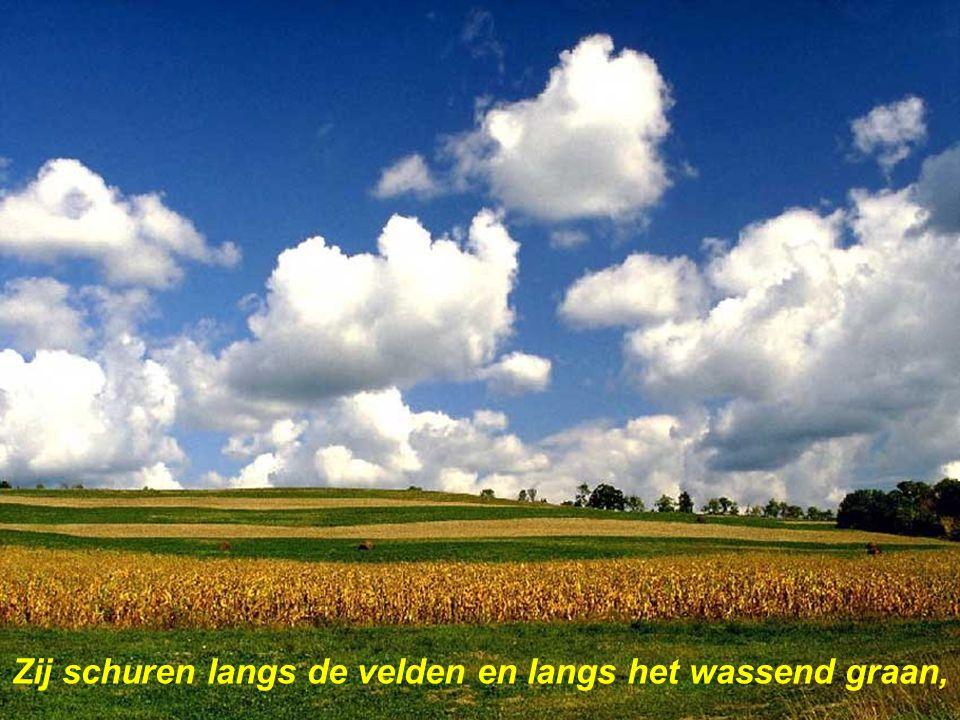 Zij schuren langs de velden en langs het wassend graan,