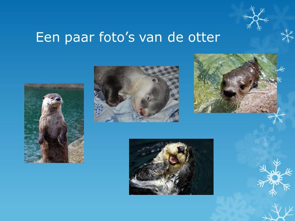 Een paar foto's van de otter