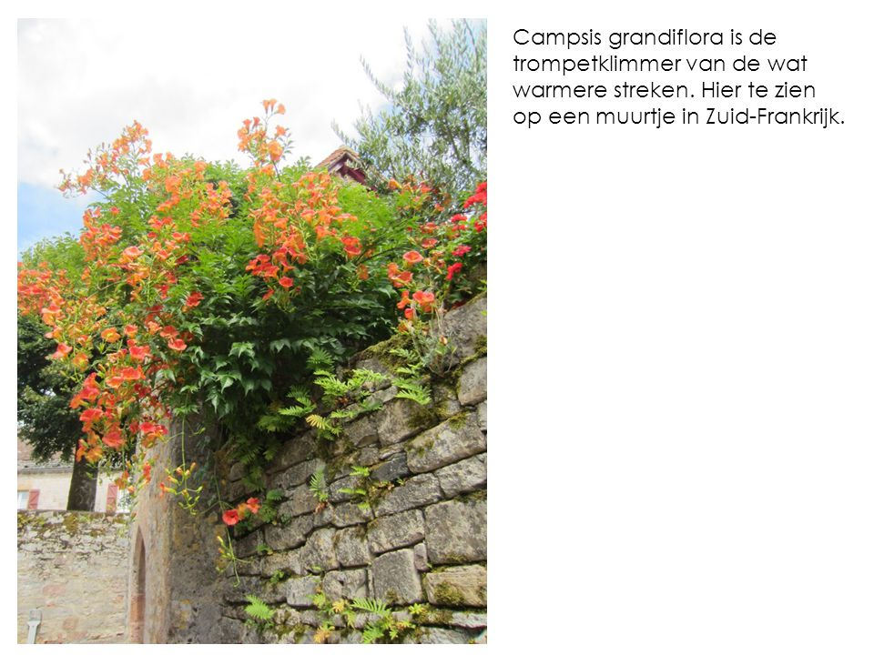 Campsis grandiflora is de