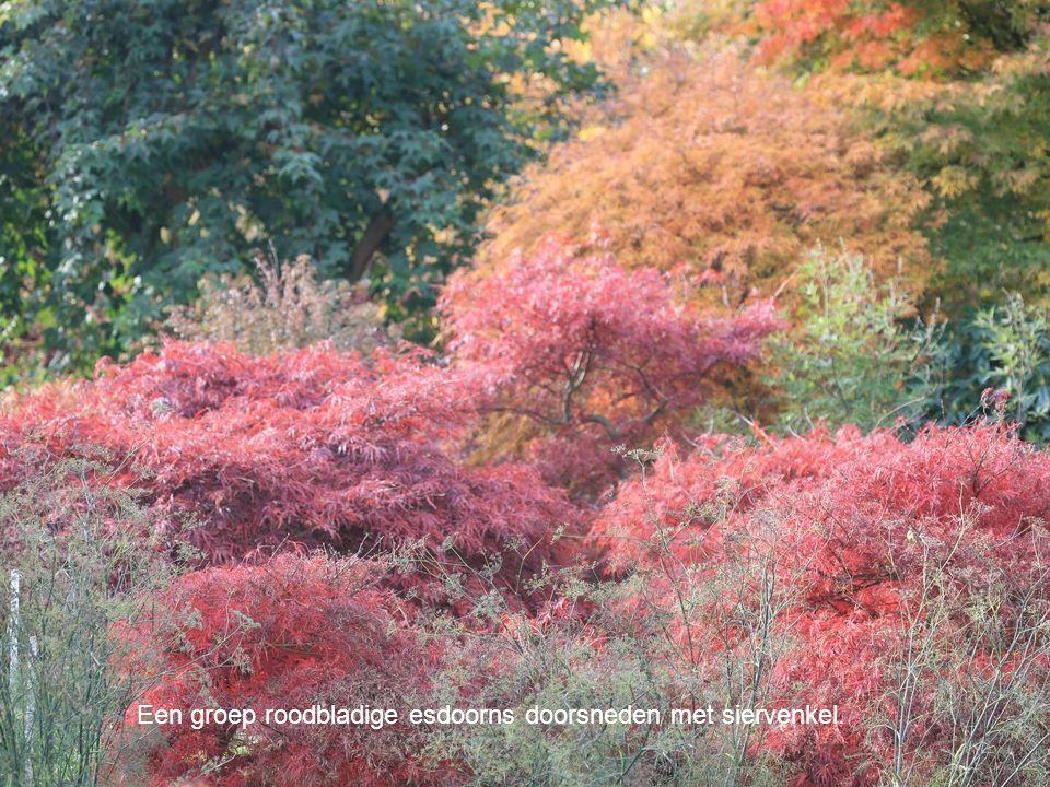 Een groep roodbladige esdoorns doorsneden met siervenkel.