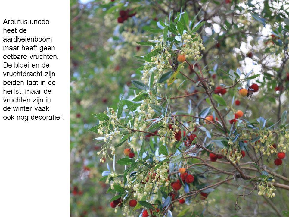 Arbutus unedo heet de. aardbeienboom. maar heeft geen. eetbare vruchten. De bloei en de. vruchtdracht zijn.