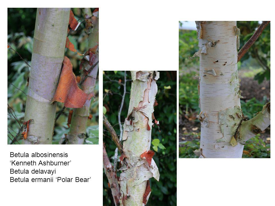 Betula albosinensis 'Kenneth Ashburner' Betula delavayi Betula ermanii 'Polar Bear'