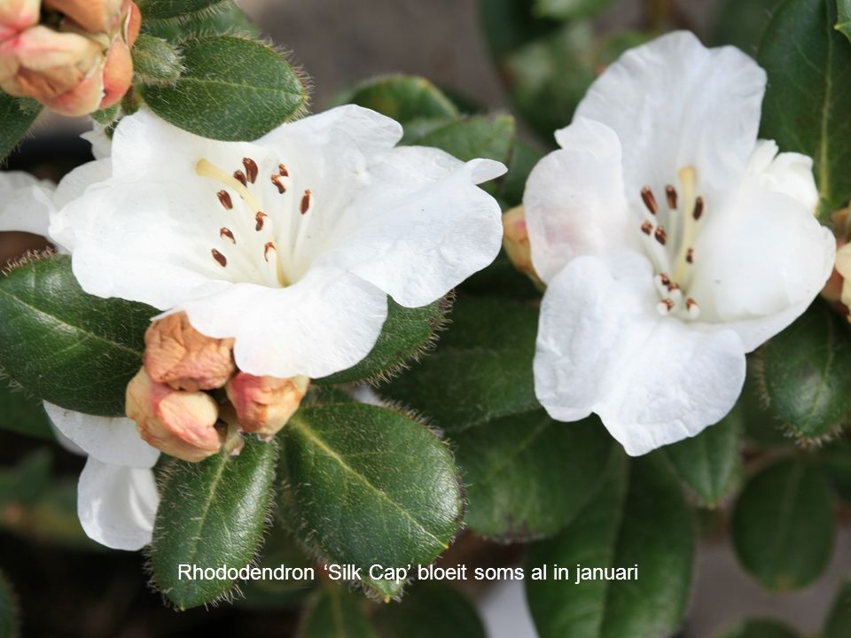 Rhododendron 'Silk Cap' bloeit soms al in januari