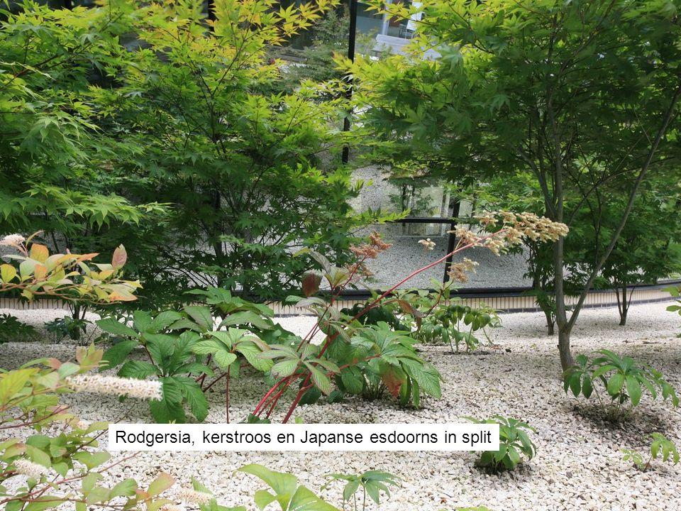 Rodgersia, kerstroos en Japanse esdoorns in split