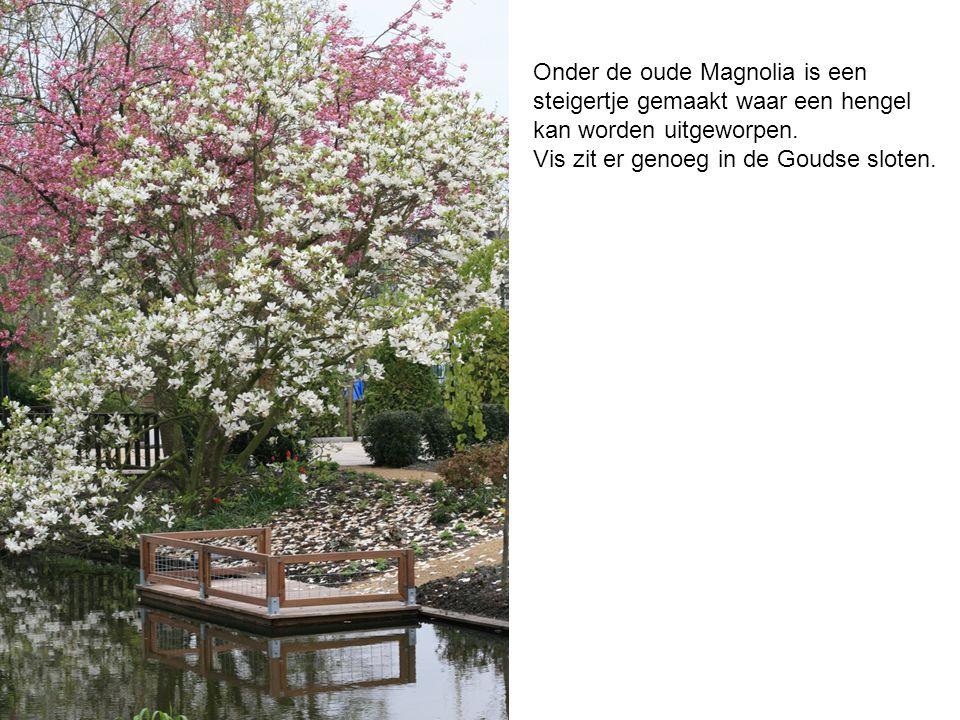 Onder de oude Magnolia is een