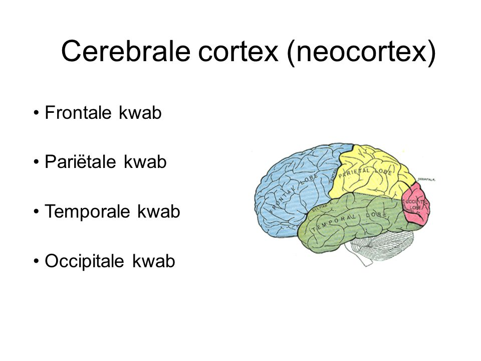 Cerebrale cortex (neocortex)