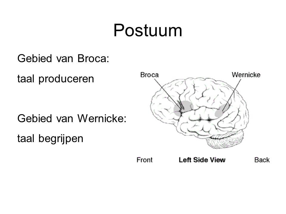 Postuum Gebied van Broca: taal produceren Gebied van Wernicke: