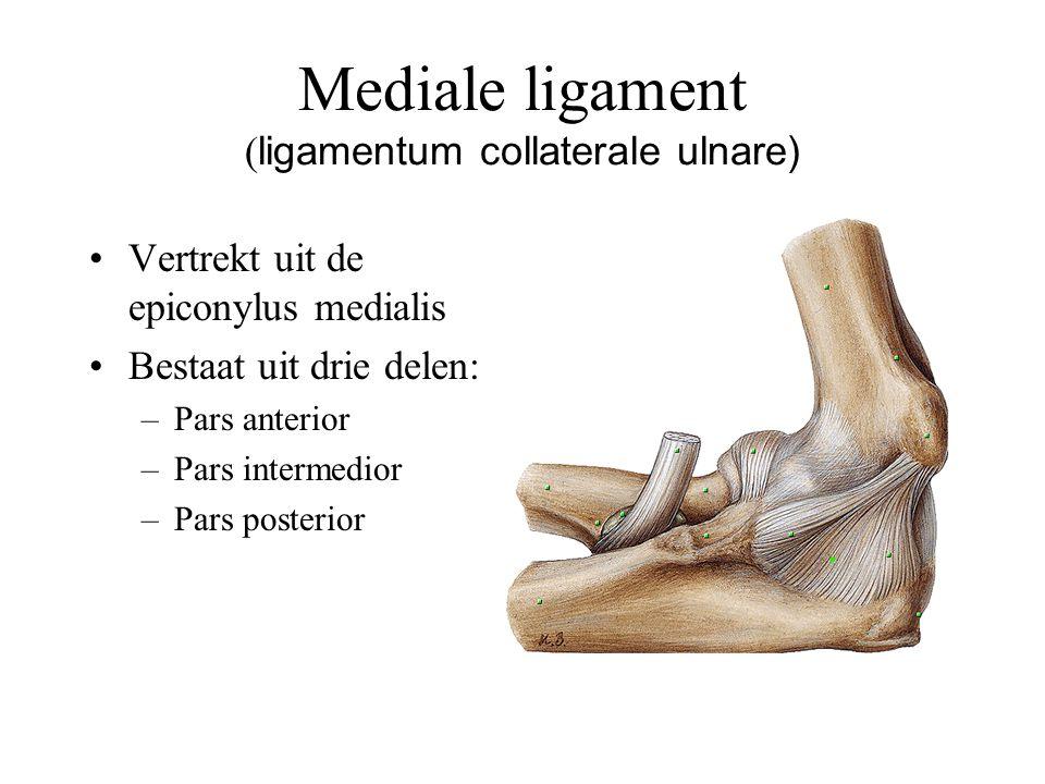 Mediale ligament (ligamentum collaterale ulnare)
