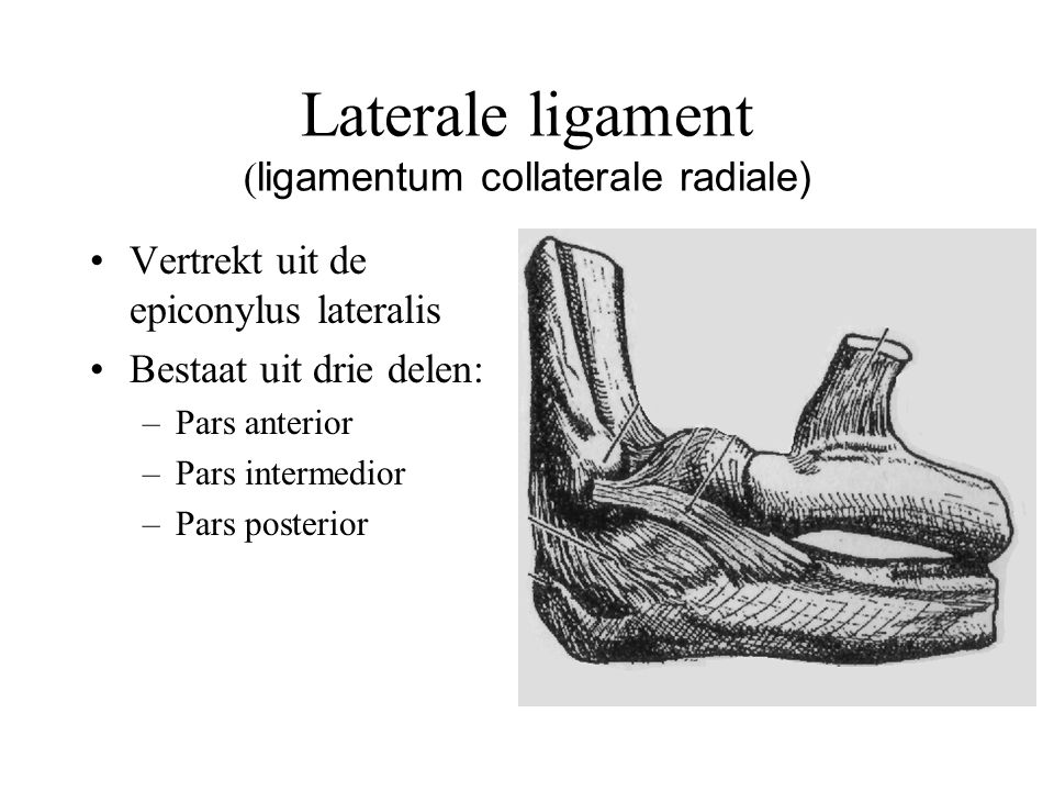 Laterale ligament (ligamentum collaterale radiale)
