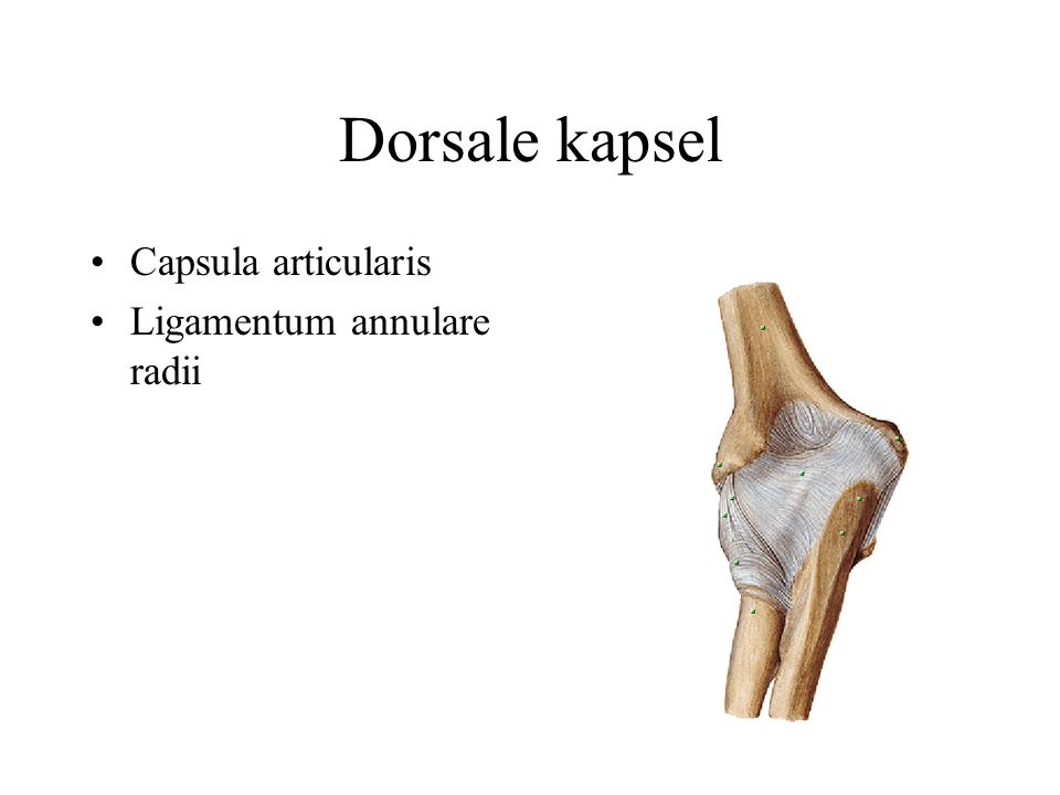 Dorsale kapsel Capsula articularis Ligamentum annulare radii
