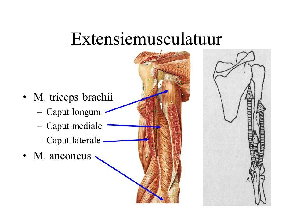 Extensiemusculatuur M. triceps brachii M. anconeus Caput longum