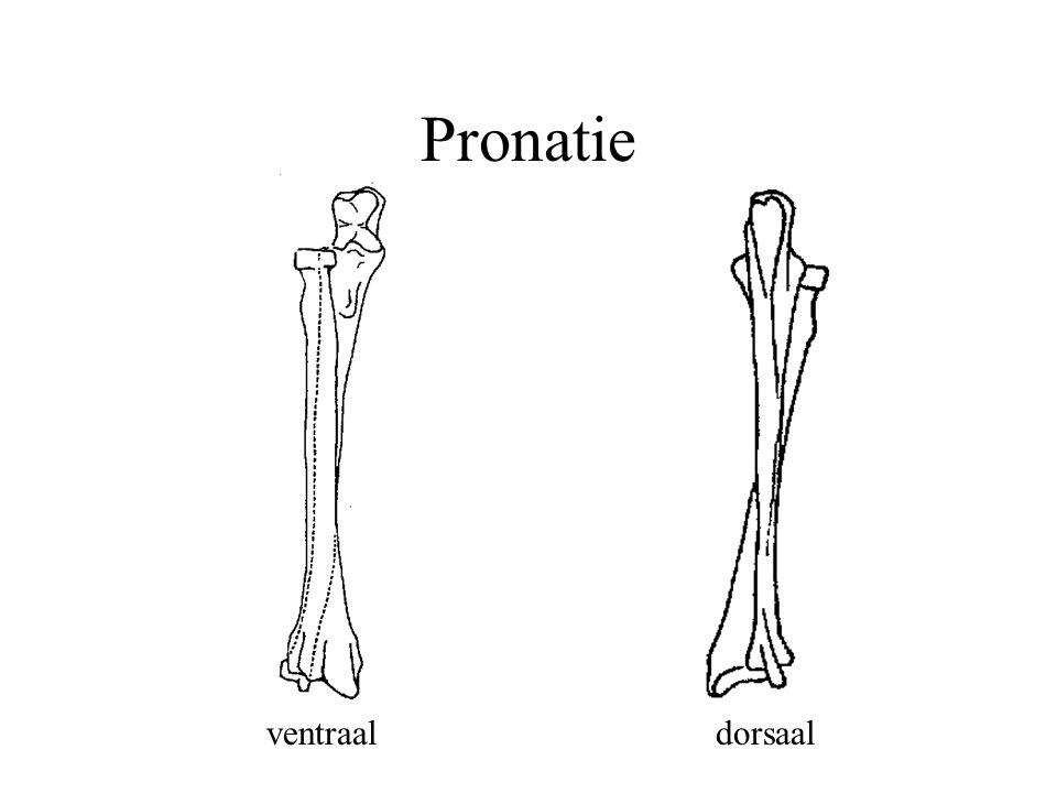 Pronatie ventraal dorsaal