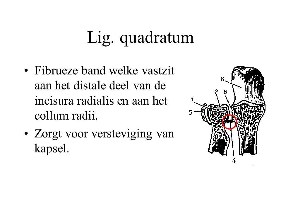 Lig. quadratum Fibrueze band welke vastzit aan het distale deel van de incisura radialis en aan het collum radii.