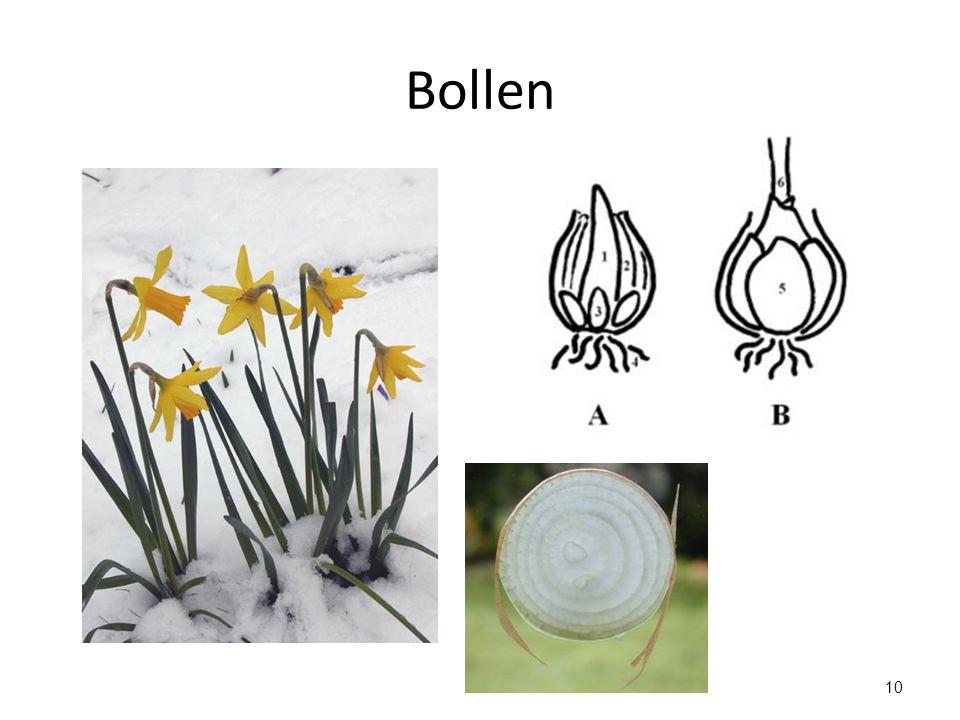 Bollen Een bol bestaat uit een bolschijf met rokken. Rokken zijn verdikte bladeren met veel reservevoedsel.